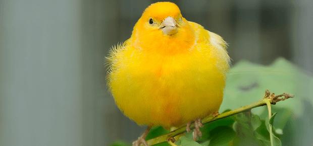Kanárik sedí na zelenej vetvičke