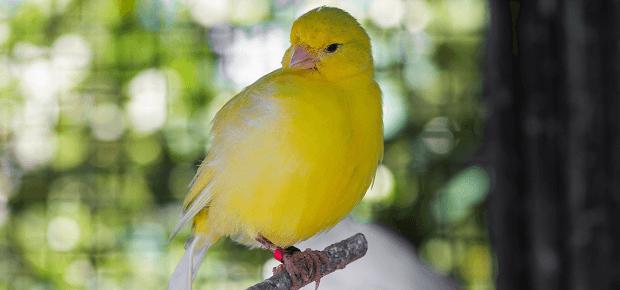 Kanárik v klietke