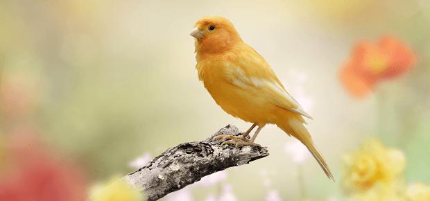 Žltý kanárik sedí na konári