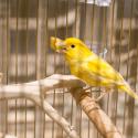 Žltý kanárik v klietke