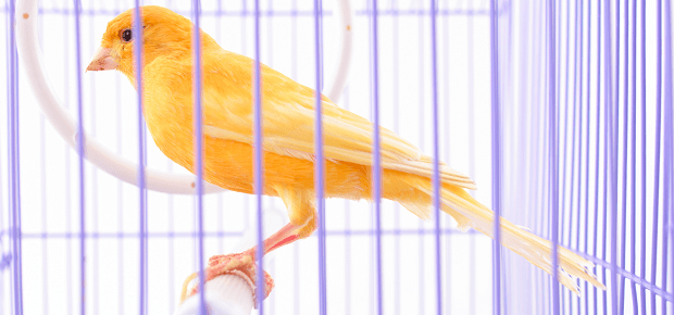Kanárik sedí vo fialovej klietke