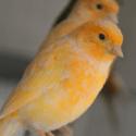 Oranžové kanáriky sedia na bidlách