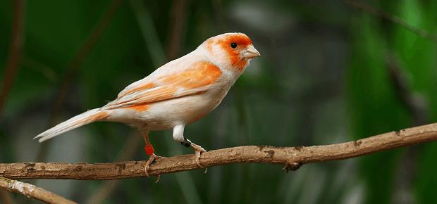 Oranžovobiely kanárik sedí na konári