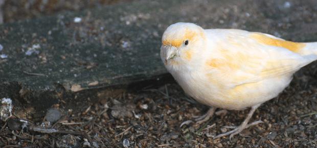 Žltobiely kanárik sedí na zemi