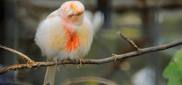 Kanárik s našuchoreným perím na konáriku