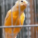 Oranžový kanárik sediaci na bidle v klietke