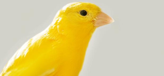 Portrét žltého kanárika
